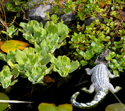 fish pond plants