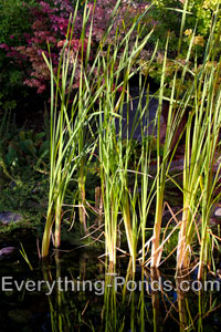 Grass Marginal Pond Plants