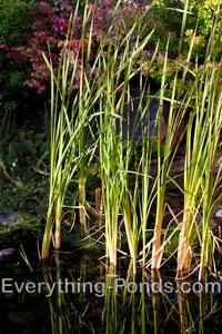 Grass Marginal Pond Plants