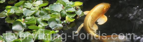koi pond plants
