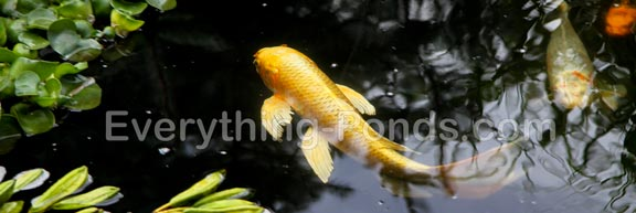 koi fish information