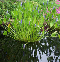 Plants for ponds everything for Beneficial pond plants